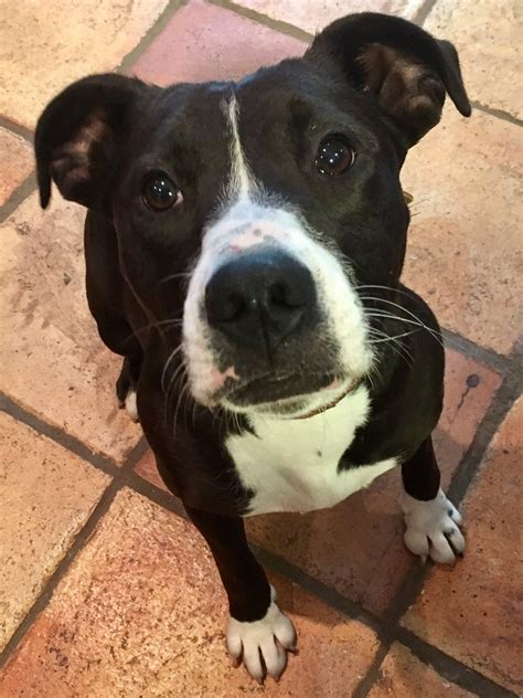 Casey the staffie x needs a new home - DAWG
