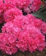 Rhododendrons, azaleas, and mountain laurels - Havlis